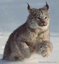 Lynx2
