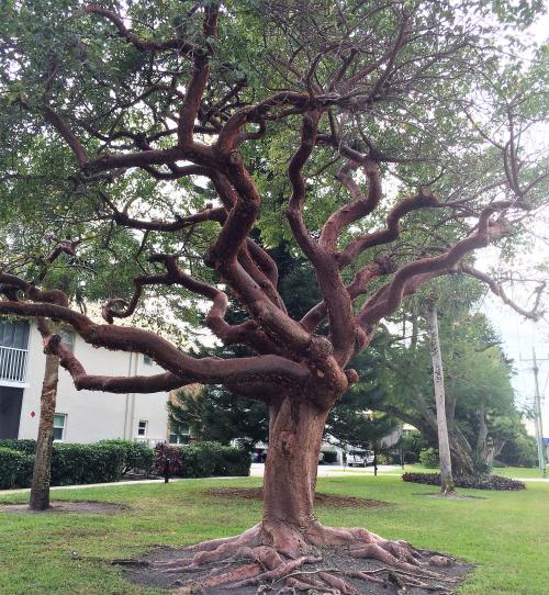 Tree.sanibel